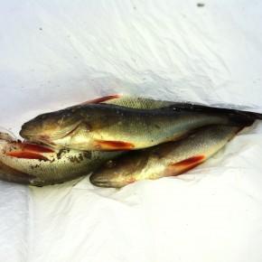 Ny runde i fiskecup