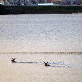 Elger svømte over Mjøsa